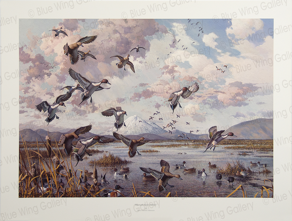 Klamath Basin Pintails By Harry Curieux Adamson