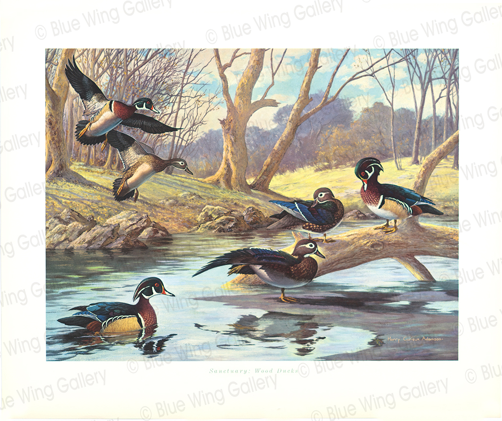 Sanctuary Wood Ducks By Harry Curieux Adamson