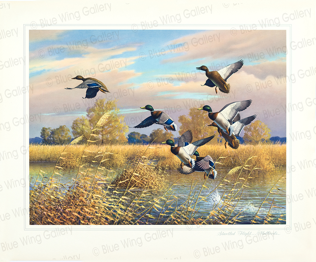 Startled Flight - Mallards By Harry Curieux Adamson