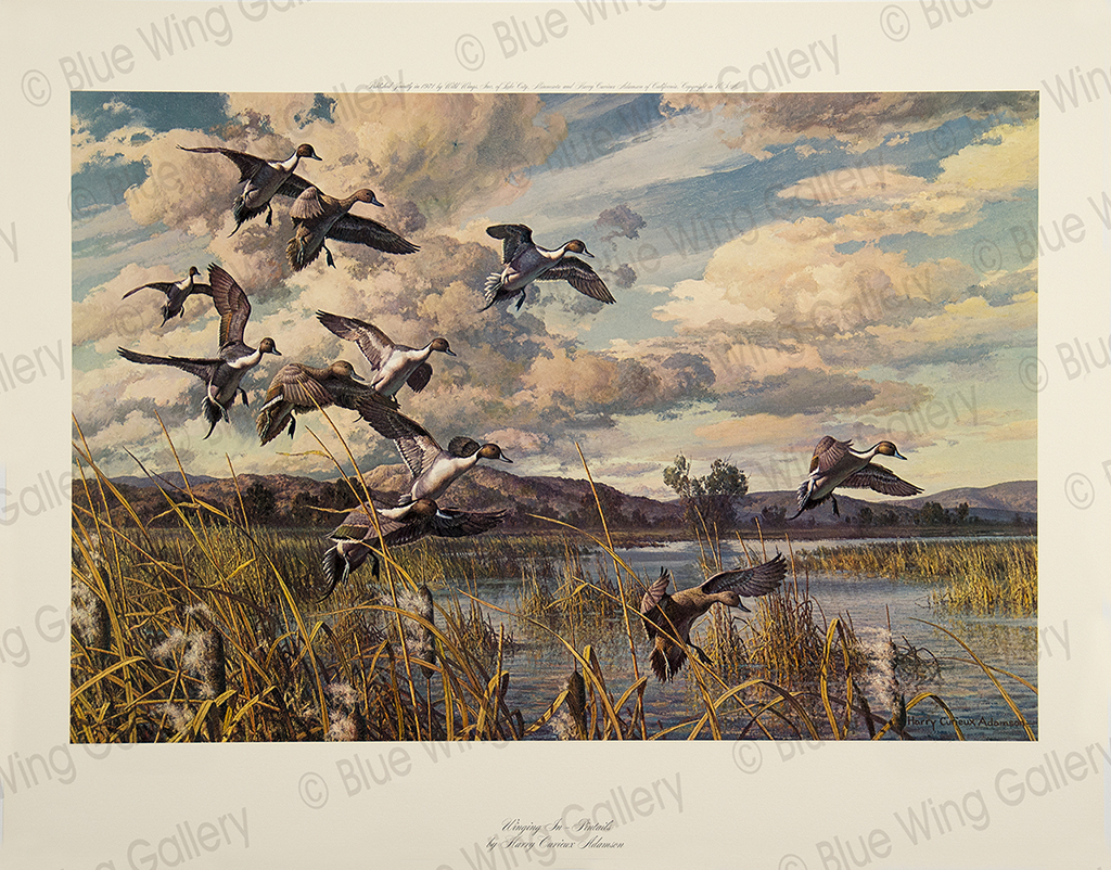 Winging In Pintails by Harry C. Adamson